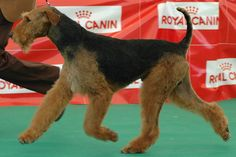 Airedale terrier by AirFox One, via Flickr