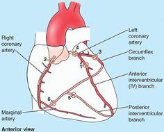 Posterior Interventricular Artery Middle cardiac posterior