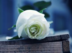 White Rose hd - Rose, White, Delicate, Nature, Soft, Rose White, Flower, Bloom, Purity, Blossom