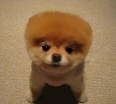 Boo - outro cachorrinho mais fofo do mundo