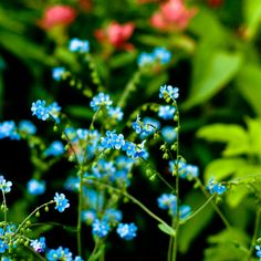 Wood forget-me-not (myosotis sylvatica).  Hardy perennial.  Blue flowers in Spring. Height 20cm. Spread 15cm.  Self seeds freely.  Woodland setting, partial shade or sun.  Best propagated from seed sown in Spring and planted out in Autumn.  Native to Scotland.