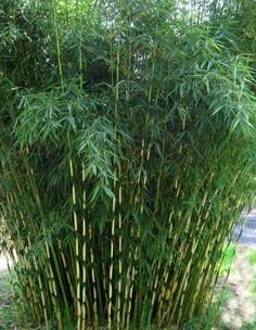 Fargesia robusta taille 4m