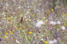 Stonechat - One of several stonechat's in the meadow between Short Wood and Southwick Wood on day 8 of Wild October.