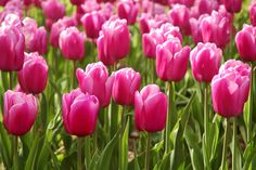 I think tulips are such beautiful flowers!