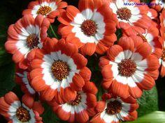 Garden Flowers Florist's Cineraria Pericallis x hybrida photo ...
