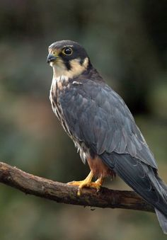 Eurasian Hobby (Falco subbuteo), or just simply Hobby, is a small slim falcon. This species breeds across Africa, Europe and Asia. It is a long-distance migrant, wintering in Africa and Asia.