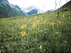 Zurück zu den Wurzeln. Eine schöne Arnika-Wiese in Tirol.