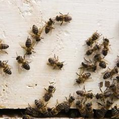 Bees can find their way inside cracks in siding to make a nest in the walls.