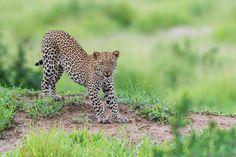 Ruaha ♂ leopard. by Marc MOL on 500px