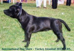 2013.07.06. Arwen İlina Ephesus Black Staffordshire Bull  Terrier female Bosphorus Bulls Kennel Türkiye,İstanbul Facebook/Bosphorus Bulls Youtube/Bosphorus Bulls Kennel