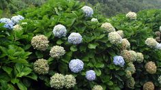 hortensia_geral_spa