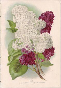 Original Victorian Chromolithograph Lilac  Picture by DevonArcadia, £11.59