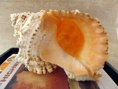 Beach Decor Bursa Bursa Specimen Shell  $19.00