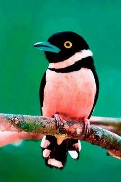 Broadbill Bird