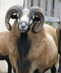 American Blackbelly Sheep http://www.ansi.okstate.edu/breeds/sheep/american%20blackbelly/images/american_blackbelly%20(2).jpg
