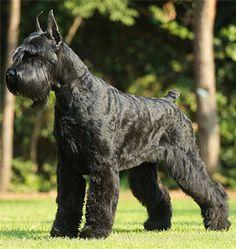Razas de perros: Terrier Negro Russo #perro #perros #mascotas
