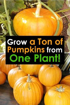 Growing pumpkins from seeds is simple with these tips and tricks! - - Growing pumpkins from seeds is simple with these tips and tricks! Grow huge pumpkins in great quantities in your backyard vegetable garden easily! Grow Pumpkins From Seeds, When To Plant Pumpkins, Planting Pumpkins, Small Pumpkins, How To Grow Pumpkins, Container Vegetables, Planting Vegetables, Organic Vegetables, Growing Vegetables