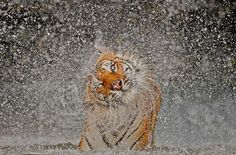 Busaba the #Tiger shaking herself dry @TimedPerfectly
