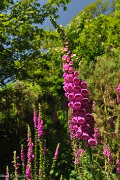 Foxgloves beside the footpath at Treverbyn, near St Neot, Cornwall.