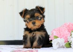 🔅🌸We are pleased to introduce to you the most #Adorable #YorkshireTerrier puppies you will meet! Playful, #Precious, and full of life these cuties are sure to be the most loving companions.✨ #Charming #PinterestPuppies #PuppiesOfPinterest #Puppy #Puppies #Pups #Pup #Funloving #Sweet #PuppyLove #Cute #Cuddly #Adorable #ForTheLoveOfADog #MansBestFriend #Animals #Dog #Pet #Pets #ChildrenFriendly #PuppyandChildren #ChildandPuppy #LancasterPuppies www.LancasterPuppies.com Yorkie Puppy For Sale, Puppies For Sale, Puppy Love, Yorkie Puppies, Small Dog Breeds, Small Dogs, Lancaster Puppies, Yorkshire Terrier Puppies, Mans Best Friend