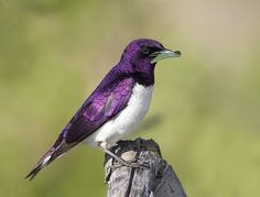 The violet-backed starling, also known as the plum-colored starling or amethyst starling, is a relatively small species of starling in the Sturnidae family.