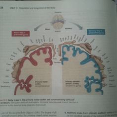 Love this motor/sensory map from pearson