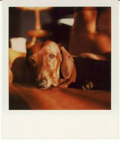 Dachshund Polaroid.