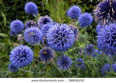 Globe Thistle - Veitch's Blue