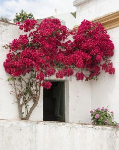 bougenville in portugal on white wall from house Stock Photo
