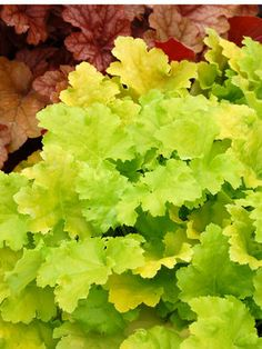 Heuchera Lime Rickey - Crisp lime green to chartreuse ruffled foliage really perks up a shady spot. Vigorous grower topped with hundreds of pure white flowers in the spring