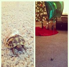 how to let your turtle roam around without losing him | DO IT YOURSELF