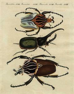 1790 Hand-Colored Engraving: Bertuch SCARAB BEETLES, Exquisite Hand Color Rare