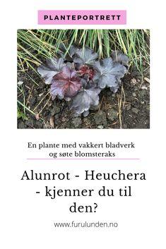 Den nye yndlingen heter på norsk Alunrot (Heuchera) #alunrot #heuchera #staude #planteportrett #furulunden #hagenmin Heuchera, Do Your Best, Garden Furniture, Plants, Outdoor, Portrait, Outdoor Garden Furniture, Outdoors, Headshot Photography