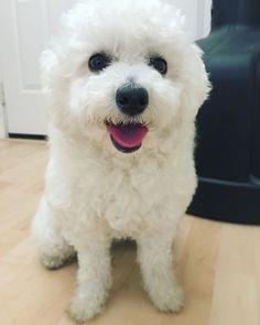 It was a good walk~ I'll just stay n wait for cleanup. #topdogphoto #poodle #bichon #bichpoo #bichonfrise #poochon #rescuedog #paws #dogs  #petsofinstagram @maviswangphoto #instadog #dogsofinstagram #cutedog #mydog #instadog