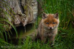 Little fox by Florian Warnecke