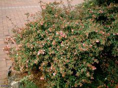 Abelia (Abelia 'Edward Goucher') - HGTVGardens Plant Finder --> http://www.hgtvgardens.com/shrubs/abelia-abelia-edward-goucher?soc=pinterest