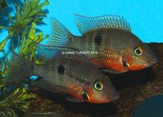 Firemouth Cichlid (Thorichthys meeki) www.fishkeeper.co.uk #tropicalfish