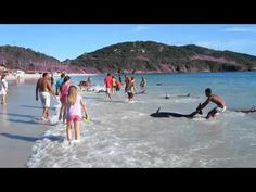 30 Beached Dolphins saved on the beach in Rio de Janeiro - Way to go Brazilians!