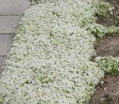 Thymus praecox 'Albus', groen blad , bloeit met witte bloemen in juni-juli groeit uit tot 10cm.