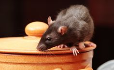 In most instances, pest infestation comes as a surprise to most homeowners. When it happens, the best you can do is to look for a pest control company. Unfortunately, the influx of service provider… Best Pest Control, Pest Management, Ainsi, Guide, Mac, Dream Meanings, Rats, Home Hacks, Remedies