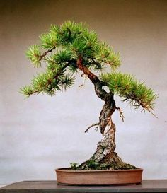 Pitch Pine. grow your own bonsai from seed; https://www.sheffields.com/seeds/Pinus/rigida