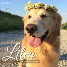 Here we have adorable Lilen, one of the dynamic duo that is Lillen and Bjorn. #instagramdogs #cutedogs #retriever