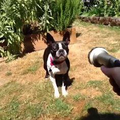 Este viernes les traemos un frenchie que se pone feliz cuando ve un chorro de agua! ❤️ Feliz día para todos!  #PerroFeliz #chachayelgalgo #pasteleriacanina #paletasparaperros #amorperruno #mascotas #peluditos #perrosaludable #alimentacioncanina #YoCreoEnCali #frenchie #frenchbulldog #cali #calico #colombia