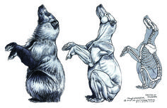 -Terryl Whitlatch One of the major divisions of Creature Design is that of depicting real animals, as opposed to imaginary ones. In fact . Bear Drawing, Anatomy Drawing, Anatomy Art, Leg Anatomy, Animation Reference, Anatomy Reference, Art Reference, Reference Images, Photo Reference