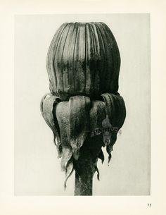 from Karl Blossfeldt Photogravures Urformen der Kunst 1929 Karl Blossfeldt, Etching Prints, Artwork Images, Fine Art Photo, Seed Pods, Natural Forms, Photomontage, Botanical Prints, Natural History