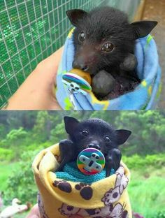 Baby bat with a pacifier
