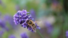Biene auf Lavendelblüte © NDR Fotograf: Kristina Koch aus Rostock