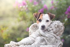 Jack Russell Terrier Love by Heavenly Pet Photography #parsonrussell #cupid #dogphotographer