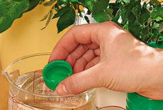 При выборе комнатного растения мывсегда обращаем внимание навнешний вид листьев ицветов,форму. Нокаждое растение имеет свою индивидуальную энергетику,влияя насостояние человека. Красивое комнатное растение— это,прежде всего правильный уход иусловия содержания. Даже небольшие погрешности ву