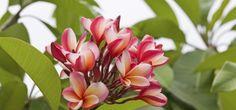 Frangipani - guide on how to grow them